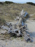 Driftwood. Sun bleached driftwood sitting high above the surf line Royalty Free Stock Photos