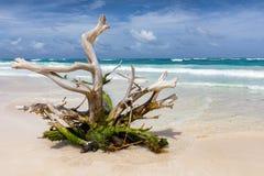 Driftwood tree on a Caribbean beach near Tulum. Mexico Stock Photography