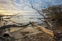 Driftwoods. Grey Tree Branches Lying Over The Water, Dry Dead Wood In A Lake Stock Photo
