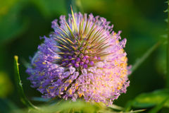Dright thistle flower. Bright thistle flower.Extreme close up Stock Images