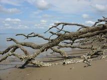 Drijfhout met eendenmosselen Stock Fotografie
