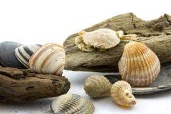 Drijfhout met zeeschelpen stock fotografie
