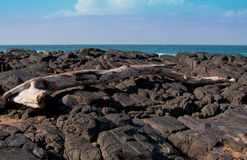 Drijfhout op rotsen Stock Foto's