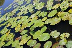 Drijvende bladeren van waterplanten stock foto's