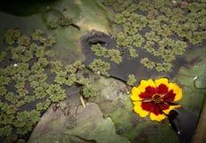 Drijvende gele waterbloem op een groene bladachtergrond stock afbeeldingen
