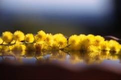 Drijvende mimosa's stock afbeeldingen