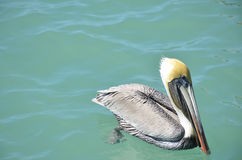 Drijvende pelikaan Stock Afbeelding