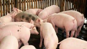Drijvende varkenspen, de landbouwvarken, landbouwbedrijfvarken stock videobeelden