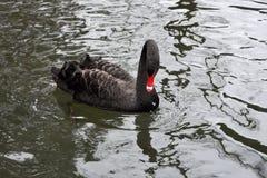 Drijvende zwarte zwaan Stock Foto's