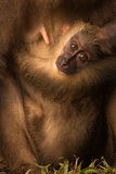 Endangered African Baby Monkey Eyes Stock Photography