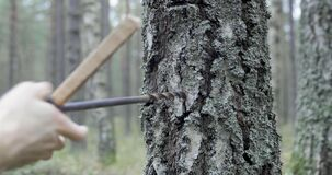 Drill hole in birch trunk to collect sap