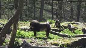 Drill monkey. Mandrillus leucophaeus in nature habitat stock video footage