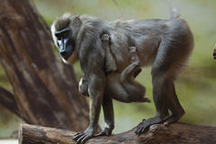 Drill monkey (Mandrillus leucophaeus). Royalty Free Stock Image
