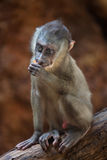 Drill monkey (Mandrillus leucophaeus). Stock Photos