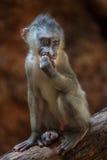 Drill monkey (Mandrillus leucophaeus). Stock Image