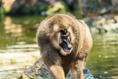Drill Monkey (Mandrillus Leucophaeus). Portrait royalty free stock photography