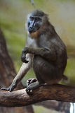 Drill monkey (Mandrillus leucophaeus). Stock Photography