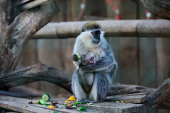 Drill monkey mother and child Royalty Free Stock Photography