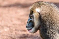 Drill Monkey (Mandrillus Leucophaeus) Stock Images