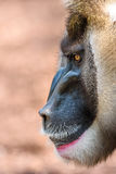 Drill Monkey (Mandrillus Leucophaeus) Royalty Free Stock Image