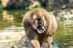 Drill Monkey (Mandrillus Leucophaeus) Royalty Free Stock Photography