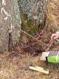 Drilling birch sap Stock Photos