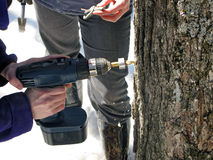 Drilling a hole in maple tree Royalty Free Stock Photography