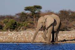 Drink för afrikansk elefant på en waterhole, etoshanationalpark royaltyfri foto