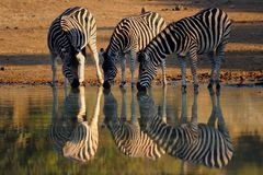 A Drink With Friends. Three zebras enjoying a drink at a waterhole in the Pilanesburg Nature Reserve Royalty Free Stock Photography