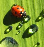 Drink ladybug. Dirty ladybud drinks out of the drop of the water Stock Photography