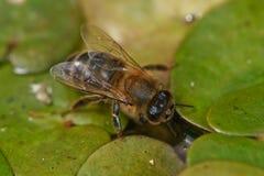Drinkend Europees Honey Bee Royalty-vrije Stock Afbeeldingen