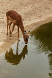 Drinkende gazelle Royalty-vrije Stock Afbeelding