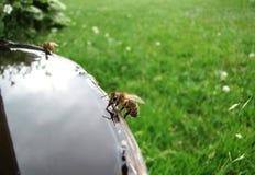 Drinkende honingbij Stock Foto's