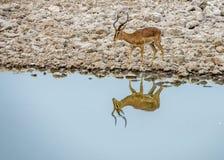 Drinkende springbok stock fotografie