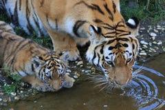 Drinkende tijger Stock Foto's