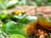 Drinker Moth Caterpillar. Close up of the head of a Drinker Moth Caterpillar Euthrix potatoria Royalty Free Stock Image