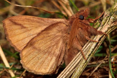 The drinker moth (Euthrix potatoria) with underside visible Royalty Free Stock Photos