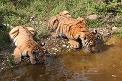 Drinkiing tigerbabys Stock Foto