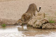 Drinking Alone Cheetah Stock Images