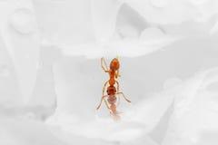 Drinking ant Royalty Free Stock Photos