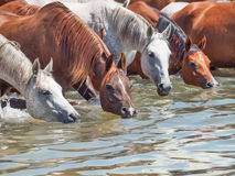 Drinking arabian horse in the lake. Royalty Free Stock Photo