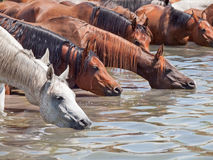 Drinking arabian mares in the lake at liberty. Stock Photos