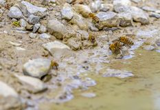 Drinking bees. Low angle closeup shot showing some drinking bees on waters edge stock photography