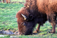 Drinking bison Royalty Free Stock Photos