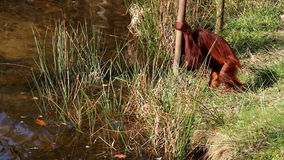 Drinking Bornean orangutan child Royalty Free Stock Photos