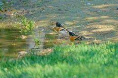 Drinking Brambling. Three Brambling are drinking in puddle. Scientific name: Fringilla montifringilla stock photo