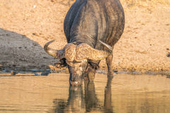 Drinking Buffalo bull in the Kruger. Stock Image