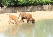Drinking buffalos Stock Images