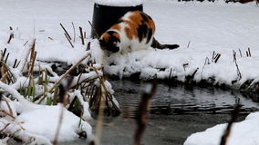 Drinking Calico cat in snow in dutch garden stock video
