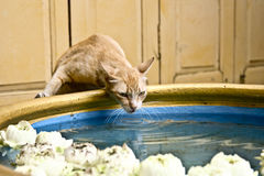 Drinking Cat Stock Photography